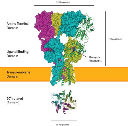 How fasoracetam works