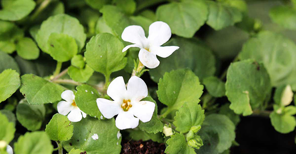 Is it safe to take bacopa monnieri for a long time?